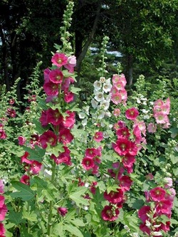 We Love These Traditional Cottage Garden Flowers For Santa Fe Gardens Tall Beautiful Look Great Against Fences Gates Or The Side Of Your